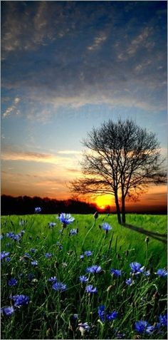 Sunset, Blue Flowers
