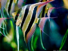 Pterophyllum scalare altum: altum angel -- may eat small tetras