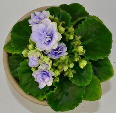 Winnergreen african violet plant