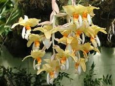stanhopea orchids - Google Search