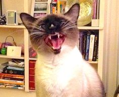 There is no chattier kitty than the Siamese cat. This ancient Asian breed are very people-oriented, and more than anything else, they want their people to know exactly what they are thinking. At all times. Have you ever wondered why your Siamese feline keeps on meowing? Here are eight reasons why your Siamese is chatting …