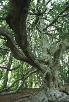 * A weeping beech tree over a hundred years old