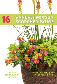 16 Annuals for Sun Scorched Patios & Window Boxes - When the dog days of summer arrive, and the heat is stifling and the humidity is high, most plants - Full Sun Container Plants, Full Sun Plants, Sun Loving Plants, Container Flowers, Container Gardening, Vegetable Gardening, Plants By The Pool, Organic Gardening, Succulent Containers
