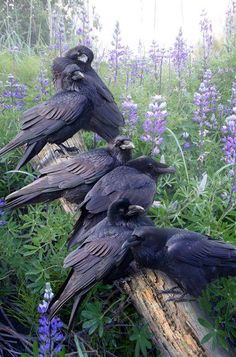 Having a Pow-Wow! Raven family on a fence rail or post.