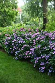 Tuff Stuff™️ hydrangea only looks delicate. Dozens of lacecap flowers and deep green foliage are just the icing on the cake for this hardy reblooming hydrangea.  http://emfl.us/AULd