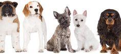 Do Dogs Get Arthritis Just Like People?