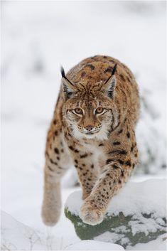 "greatanimalseverywhere: "" beautiful-wildlife: "" Lynx by P. Lindel "" Beautiful animals """