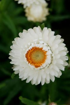 Helichrysum bracteatum, White Seeds £1.75 from Chiltern Seeds - Chiltern Seeds Secure Online Seed Catalogue and Shop