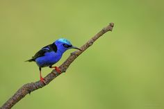 Red-legged Honeycreeper by Tony Bianchi on 500px
