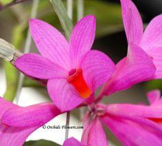 Dendrobium glomeratum Rolfe 1894