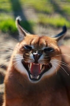 Caracal by Anestis Baby Caracal, Caracal Cat, Wild Animals Pictures, Animal Pictures, Fancy Cats, Big Cats, Lynx, Pumas, Beautiful Cats