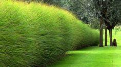 10 idées de haies. Ici des Miscanthus.Le miscanthus est un arbuste qui, en plus d'être très touffu, prend la forme d'une boule. Il est très facile d'entretien et pousse rapidement. Et l'effet est époustouflant !