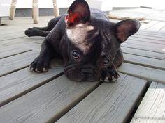 French Bulldog! Want!