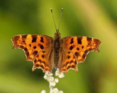 P7171929 Comma Butterfly http://sadeik.wordpress.com/2013/07/24/meadows-bumble-bees-butterflies-and-othert-friends/
