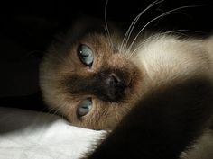 One of the most beautiful of cats-Siamese