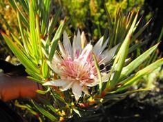 Protea Mucronifolia          Dagger-leaf Sugarbush            Kasteelkloofsuikerbos