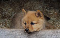Finnish Spitz (suomenpystykorva) puppy. He's like a little fox!