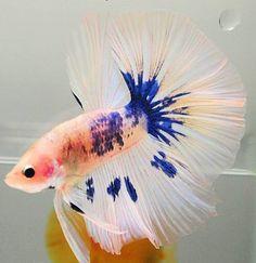 white blue marble HM Colorful Fish, Tropical Fish, Freshwater Aquarium, Aquarium Fish, Fishing World, Beta Fish, Siamese Fighting Fish, Little Fish, Beautiful Fish