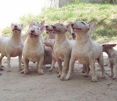 Fuck Yeah, English Bull Terriers!