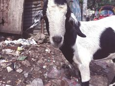 Capre del Bangladesh