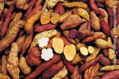 Sweet Potato varieties  by Global Crop Diversity Trust, via Flickr
