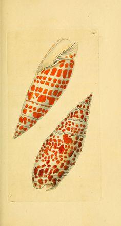 Descriptions and illustrations of mollusks