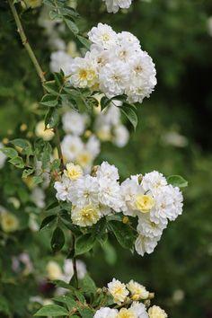 Rosa helenae 'Starkodder' | Zon III. En helenaehybrid som är lite mer fylld än de övriga i gruppen. Knopparna är ljusgula och den blommar kraftigt med vita, halvfyllda blommor. Doften är söt och behaglig. Skuggtålig. Engångsblommande. 3x3m. Rosen upptäcktes frösådd hos Cedergren & Co på Råå utanför Helsingborg 1997.