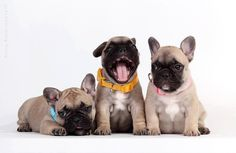 Have to love those French Bulldogs