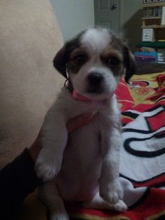Finally Got My Baby Girl.. Meet Kalii My Shih Tzu maltese mix Pup 7 weeks Old.