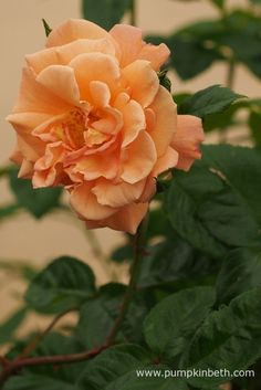 Rosa 'Scent from Heaven' has double orange flowers, which open to real the roses' stamens. Bees and other pollinating insects are able to access the pollen and nectar from this rose, meaning Rosa 'Scent from Heaven' is a great choice if you're looking to plant roses that are good for pollinating insects.