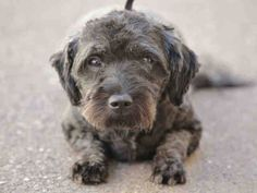 ★❥★ADOPTED★❥★~ Animal ID #A507621 ‒ My Name is BOBBLES. I am a Female (Spayed), Black Miniature Poodle mix. The shelter thinks I am about 1 year old. I have been at the shelter since March 28, 2015.  Arizona Humane Society - Sunnyslope ‒ (602) 216-6440 9226 N 13th Avenue  Phoenix, AZ https://www.facebook.com/OPCA.Shelter.Network.Alliance/photos/pb.481296865284684.-2207520000.1427980960./801168873297480/?type=3&theater