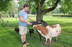 Mini zebu cows in Holland. Mini Cows, Mini Farm, Mini Horses, Minature Cows, Farm Animals, Animals And Pets, Zebu Cattle, Miniature Cattle, Animals
