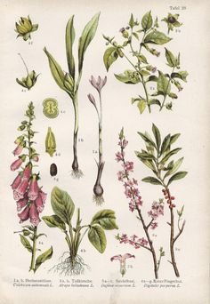 Vintage Botanical Illustration, 1920s, Autumn Crocus, Daphne, Foxglove
