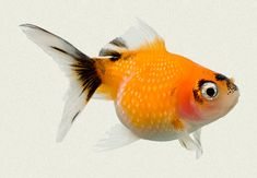 Pearlscale Red & Black Fancy Goldfish | Tropicali