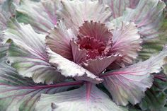 Ornamental cabbage and kale - cold tolerant with leaves in lavender, rose and white, creates brilliant color to fall and winter gardens Hardy Mums, Ornamental Cabbage, Fall Plants, Winter Garden, Perennials, Frost, Lavender, Gardens, Leaves
