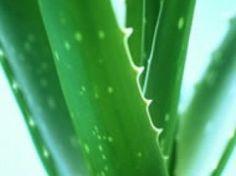 Shampoo natural de Aloe Vera! [Recomendado]