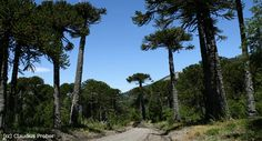 Reserva Nacional Malalcahuello, un destino para todo el año. www.turismonacional.cl Accounting, Snow Forest, Parts Of The Mass, Turismo, Winter, Spring, Green, Viajes, Pastel Colours