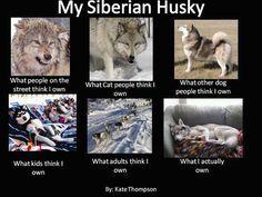 Best 25  Red siberian husky ideas on Pinterest