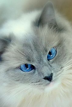 Beautiful Blue eyes would be a perfect name for this kitty Beautiful Cats! Animals And Pets, Baby Animals, Funny Animals, Cute Animals, Cute Cats And Kittens, Cool Cats, Kittens Cutest, Funny Kittens, White Kittens