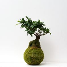 #Kokedama Ficus XXL by @ikebanart