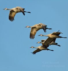 sand hill cranes/ Had six drop into our field a few minutes ago.. love, love, love to have them back!