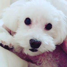 so cute  my sweety♡ breaktime☕️ #愛犬 #家族 #落ち着く #癒し #プードル #ホワイト #大好き #愛してる #可愛い #family #honey #sweety #my #dog #poodle #xoxo #cute #애견 #가족 #개 #귀여운 #🐩 #❤️ #💋