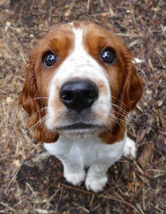 Welsh Springer Spaniel pup