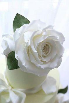 Lovely white rose
