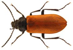 Omophlus lepturoides