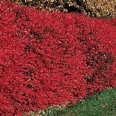Dwarf Burning Bush HedgeLight: Full sun Height: Upto 6' unpruned Deer Resistant Size: Bareroot Zones: 4 to 9