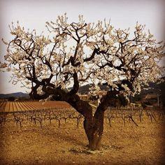 Ametller en flor a les vinyes #Gelida #Penedès