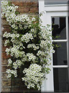 Early Sensation Evergreen Clematis