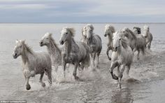 Wild Camargue horses galloping through water in marshes in Southern France - Marco Carmassi