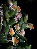 Dendrobium lichenastrum. A species orchid ( color)
